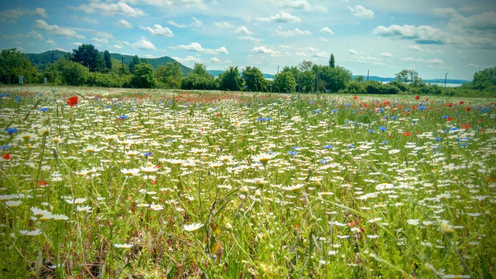 Verseny eleji idill: sajkodi mező